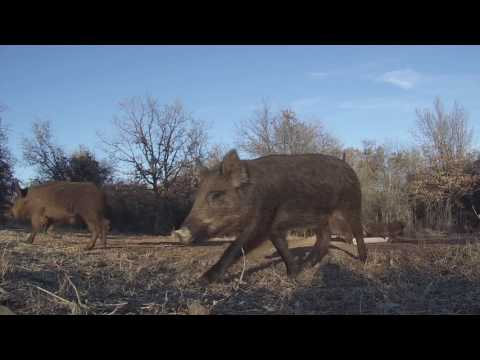 February Hogs In Oklahoma