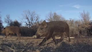 Video February Hogs in Oklahoma download MP3, 3GP, MP4, WEBM, AVI, FLV Desember 2017