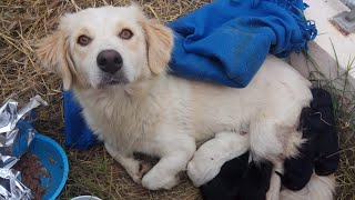Stray mother dog with her newborn puppies found helpless out in a field.
