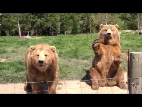 Waving Bear At Olympic Game Farm Youtube