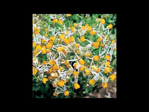 Вопрос: Сложно ли выращивать лакфиоль (хейрантус)?