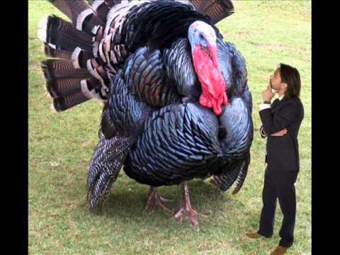 How much did the heaviest turkey weigh?