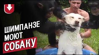 Два шимпанзе моют собаку с мылом