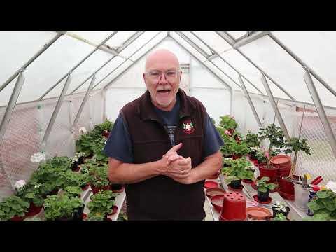 A Look At Ivy Leaf Pelargoniums