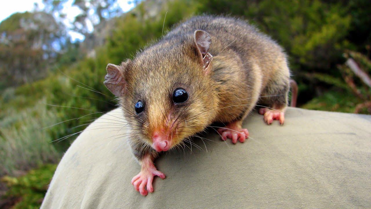 Mountain Pygmy Possum habitat, scientific name, food chain, distribution, life cycle, baby, diet, snow, etc.