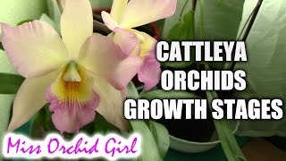 Growth stages of Cattleya orchids