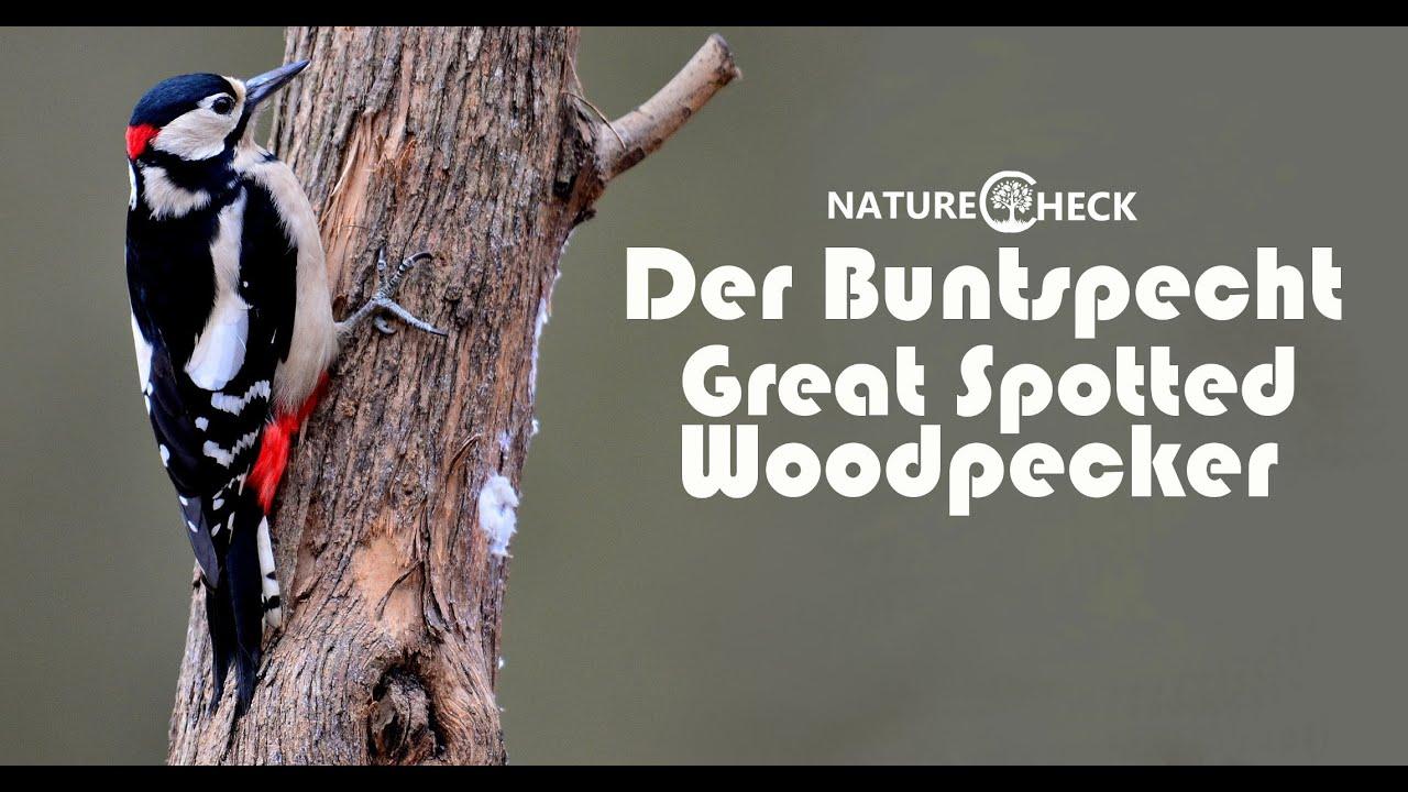 der buntspecht the great spotted woodpecker youtube. Black Bedroom Furniture Sets. Home Design Ideas
