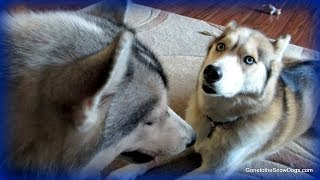 Can My Husky Be Off Leash? Fan Friday 143