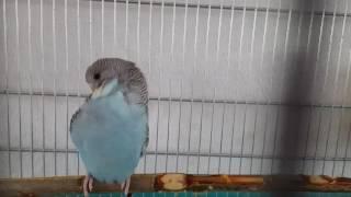 Волнистик.Волнистый попугай чешиться?или чиститься.блохи? Или  клещи.