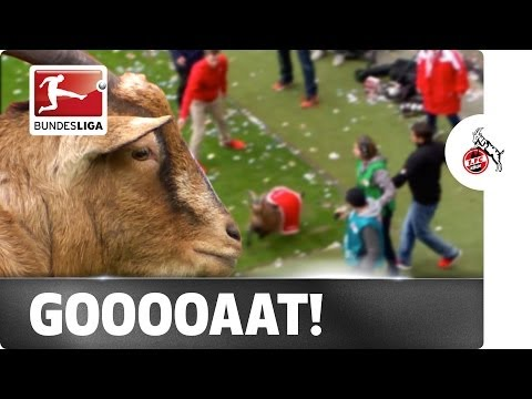 The Escapegoat: Cologne's Living Mascot Hennes