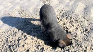 Собака роет яму
