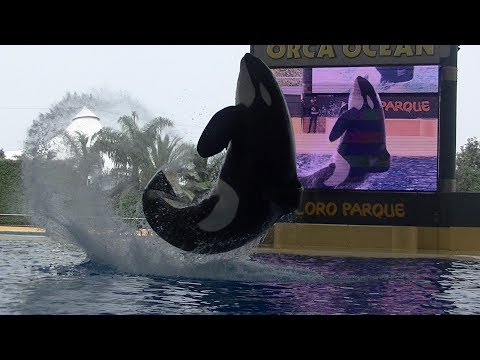 Orca Ocean (Full Show) October 13 2017 - Loro Parque Tenerife Spain