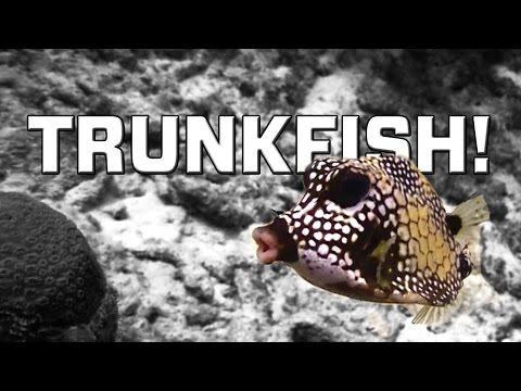 Trunkfish, The Cutest Fish Ever! (Ostraciidae)