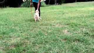 Emma's Daily Minutes - Training A Puppy On Proper Leash Manners.