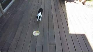 Puppy Training In Lafayette, Ca - Paper Plate Recall