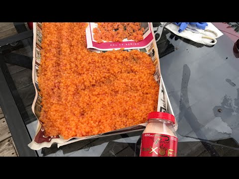 How To Cure Salmon Roe