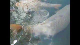 Biggest Koi Fish in the World