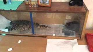 Удав Лёня против крысы