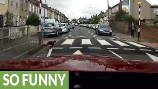 أذكي قط في العالم يستخدم نقطة عبور المشاة.. فيديو