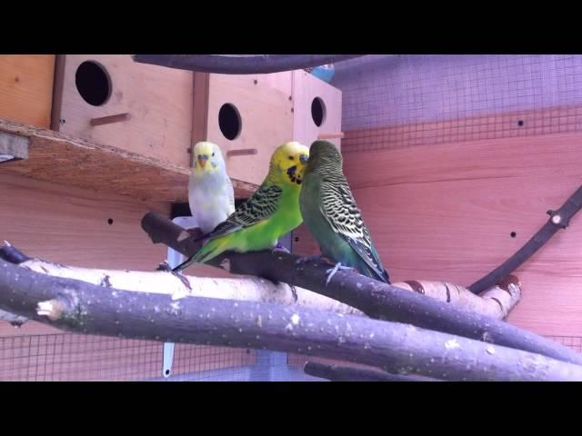 Papugi faliste - samiec standard w wolierze