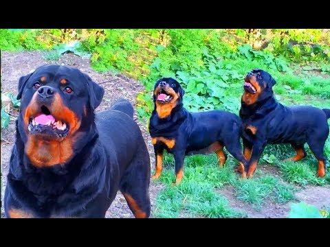 Красавцы! Ротвейлеры Блэки и Грация. Entourage! Rottweilers Blakey and Grace.
