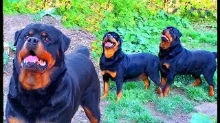 Красавцы! Ротвейлеры Блэки и Грация. Entourage! Rottweilers Blakey and Grace.