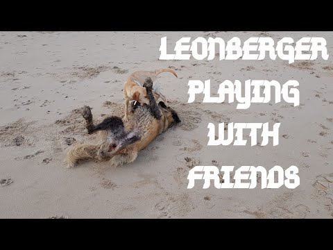LEONBERGER DOG | LEONBERGER PLAYING WITH A MIXTURE OF DIFFERENT DOG BREEDS #leonberger #dog #animals