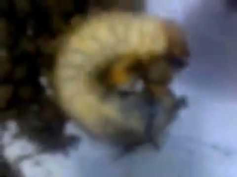 Борьба с подземными вредителями сада и огорода(личинка майского жука/хруща/,медведка,дротянка