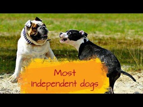 Most Independent Dog Breeds by Dog tubed.