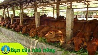 Phương pháp xây dựng mô hình nuôi bò bán công nghiệp ở nông thôn