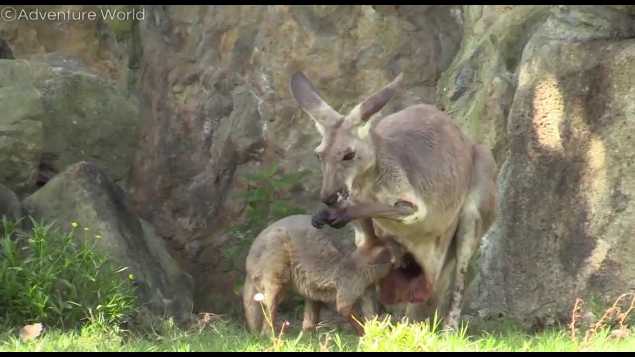 赤ちゃん カンガルー の