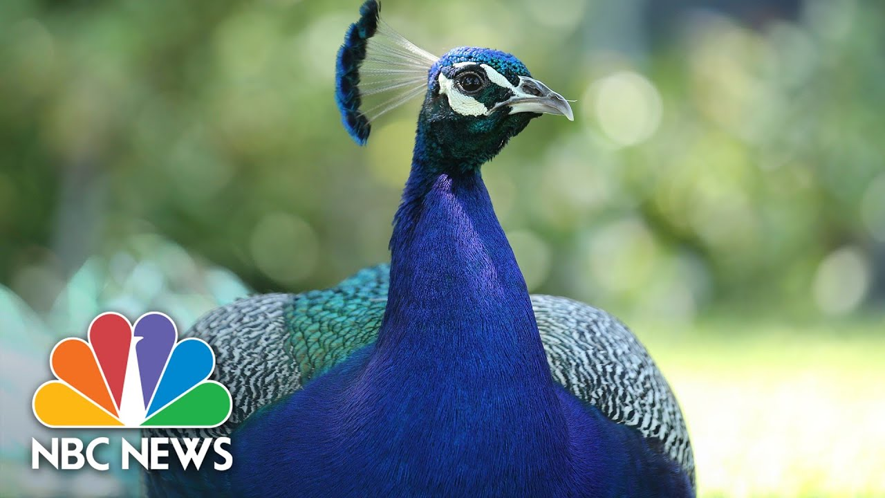 Proposed Peacock Bill Ruffling Feathers In Los Angeles