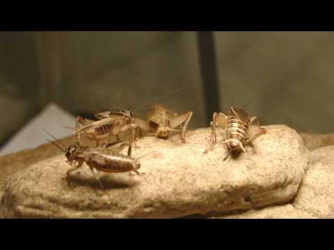 Insect name - Cricket
