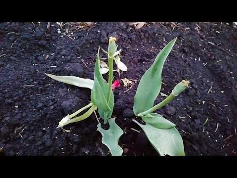 Вопрос: Как обрезать тюльпаны?