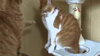 [cat video]But friendly, orange tabby cat that exercise airh