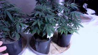 How to water Marijuana growing in coco