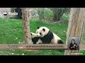 พฤติกรรมแพนด้าเบื่อเล่นสนุกสนานในจีน