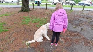 Labradoodle Saachi's 2 wk board & train: Cincinnati Dog Trainers Off Leash K9