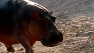 Deadly Hippos kills dozens of people every year
