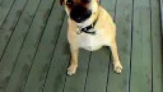 Boxer Cross Pug, Weelo