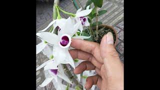 Hoa lan phi điệp 5ct họng hồng nở tết