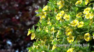 Proven Winners® Grower Channel: Superbells® Lemon Slice Calibrachoa