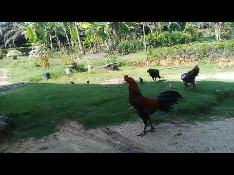 100+ Gambar Ayam Lagi Makan Kekinian