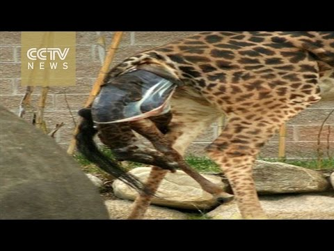 Thumbnail: Amazing moment a Giraffe gives birth to a calf