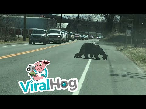 WATCH: Mama Bear Stops Traffic To Safely Carry Her Cubs (Who Won't Listen) Across The Street