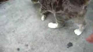 Hemingway Polydactyl Cat - Dyson