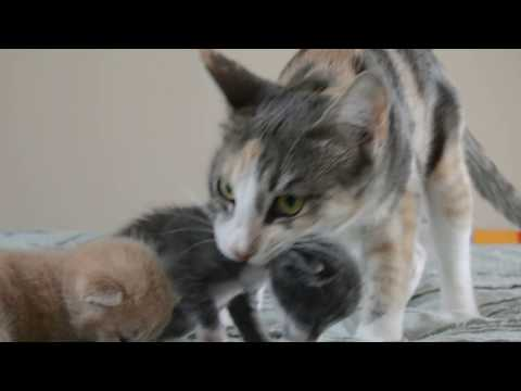 7 kittens just opened their eyes! mom cat moves babies back to the nest.