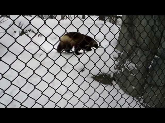2/4/14 Henson Robinson Zoo Snow Day - Rainier 3 Travel Video