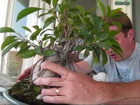 how to turn a ginseng ficus into a real bonsai tree youtube. Black Bedroom Furniture Sets. Home Design Ideas