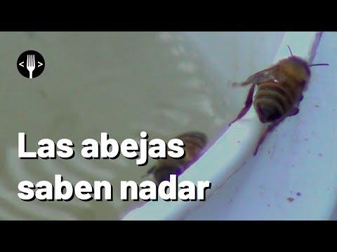 Las abejas saben nadar